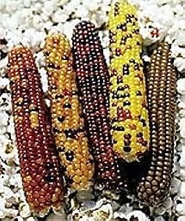 Cutie Pops Popcorn - 100 Seeds