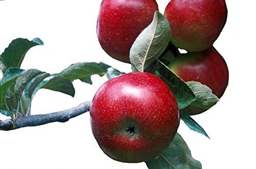 Empire Apple Tree: In One Gallon Pot