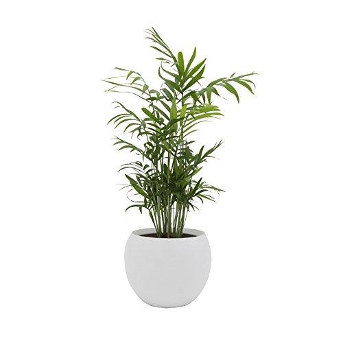"""Dominik Blumen und Pflanzen, Zimmerpalme im Topf \""""Cresto Weiß\"""" Zimmerpflanze, Grün, 40 x 20 x 20 cm"""