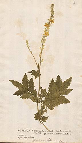 Agrimonia foliis caulinis pinnatis, fructibus hispidis. - agrimony Odermennige Pflanze plant Blume Botanik botany botanical