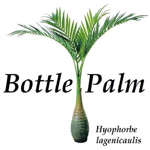 vegherb Flasche Palm Hyophorbe lagenicaulis 100 Feine Samen u Wird Beste Seed Von Hawaii Get