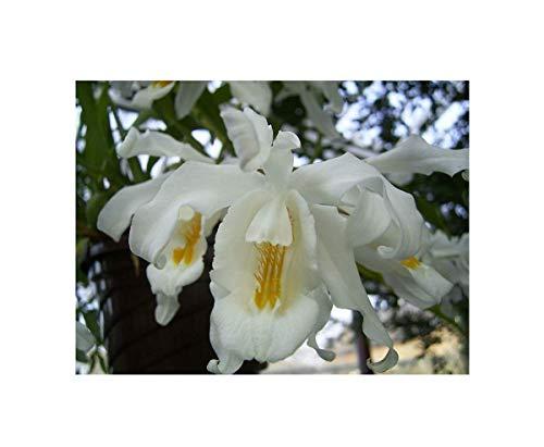 Stk - 1x Coelogyne cristata Blüten weiß gelbe Mitte Duft Orchidee OW41 - Seeds Plants Shop Samenbank Pfullingen Patrik Ipsa