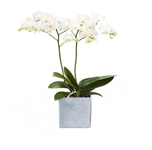 Dominik Blumen und Pflanzen, Zimmerpflanzen Orchidee, Phalaenopsis, weiß blühend, 2 triebig 1 Pflanze und 1 Scheurich Übertopf, grau / stone / weiß