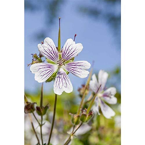 Geranium renardii - Kaukasus-Storchschnabel - 9cm Topf