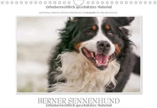 Emotionale Momente Berner Sennenhund.