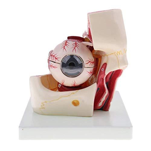 Minsong 3x Menschliche Auge Kugel/Sehnerv/Hornhaut/Iris Struktur Modell - Anatomie Lehrmittel