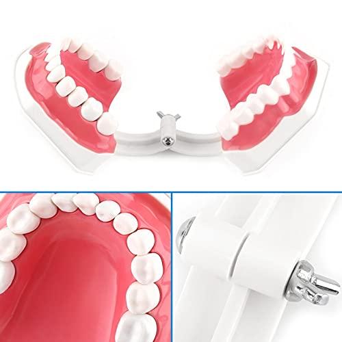 Modelo de enseñanza de dientes para niños, no tóxico, fácil de limpiar y empaquetar, modelo de dientes anatómicos estándar, ligero, antioxidante para la enseñanza o el cuidado bucal