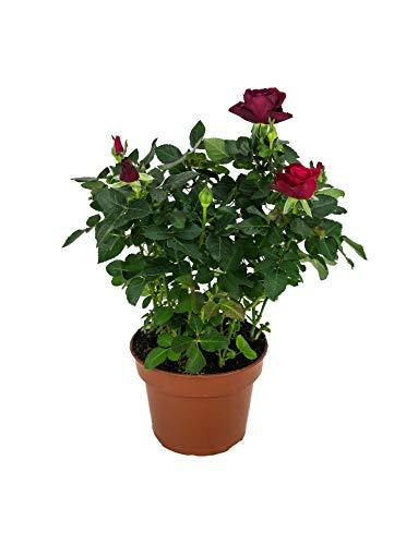 Rosal Mini Flor de Color Rojo 10cm Planta Natural en Maceta Rosal Miniatura