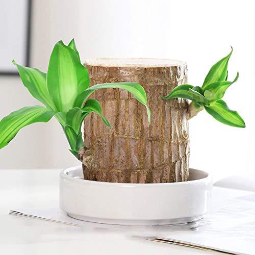 Lucky Wood Topfpflanze, Brasilien Holz, Hydrokörperpflanze, Blumentopf Hydroponische Stumpf, Indoor Desktop Saubere Luft, Mini Brasilien Holz,6cm