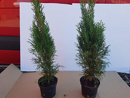 """Thuja Lebensbaum""""Smaragd"""" Topfballen 50-60 cm 50 St. Hecke Heckenpflanze"""