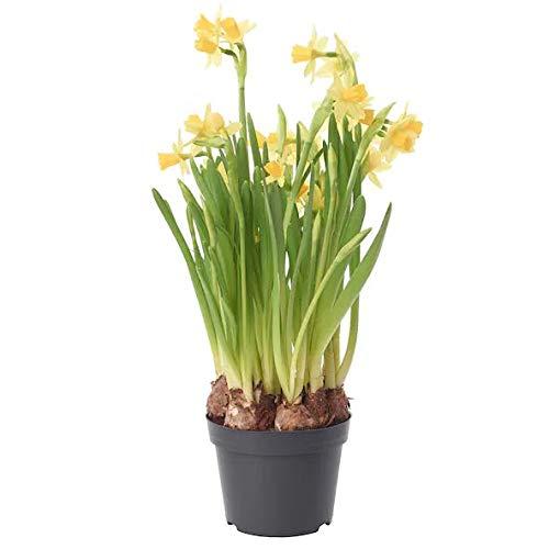 Bulbo de Narciso Planta con Flor Planta de Exterior Natural Plantas de...
