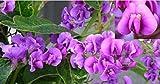 5 Piante Hardenbergia per piante rampicanti e piante rampicanti 7 acquaverde Vendiamo semi non solo la pianta. Il prezzo include funzioni customes Seeds è il pacchetto completo. Trasporto che a livello internazionale