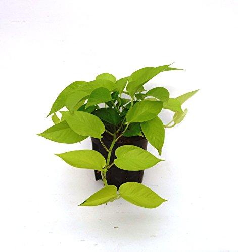 Efeutute, Epipremnum pinnatum Neon, Zimmerpflanze in Hydrokultur, 13/12er Kulturtopf, 18-22 cm