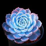 50pcs azul Echeveria Semillas - Semillas Semillas Semillas Suculento (Ni-Shi-Lian)
