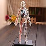 WJH 1: 6 de Todo el Cuerpo Humano Transparente Modelo Rompecabezas de Montaje del Juguete Desmontabl...