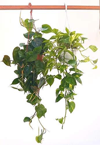 POTOS EPIPREMNUM AUREUM BASKET e SCANDENS BASKET, piante vere