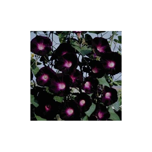 Morning Glory Plants: Amazon co uk