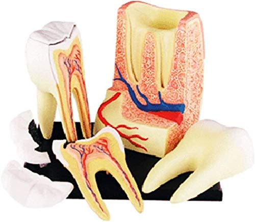 LAMZ 4D-Vision Human Teeth Anatomy Model Or Doctors Great Gift 23 Removable Organs Education 0828