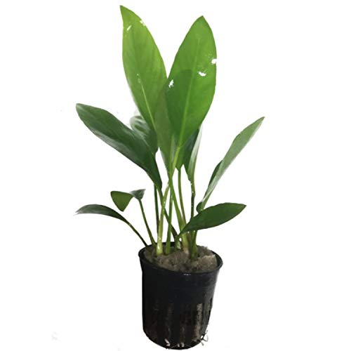 Greenpro Anubias Congensis Live Aquatic Potted Plant for Aquarium Freshwater Fish Tank