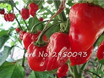 Hot Chili Carolina Reaper Bio Bonsai Topfaußen Gemüse Regenbogen-Geist-Pfeffer für...