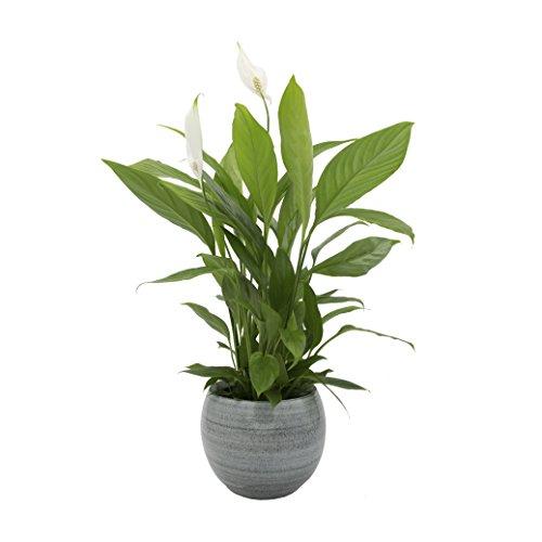 """Dominik Blumen und Pflanzen, Spathiphyllum im Topf \""""Cresto Eisblau\"""" Zimmerpflanze, Grün, 40 x 20 x 20 cm"""