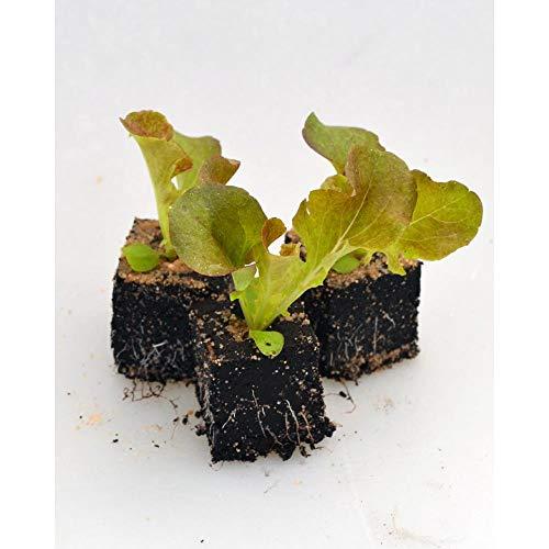 Gemüsepflanzen - Eichblattsalat/Red Salad Bowl - Lactuca sativa var. acephala - Asteraceae - 12 Pflanzen