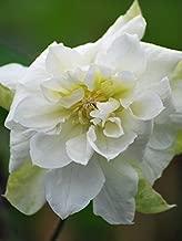 Perennial Farm Marketplace ((Clematis 'Duchess of Edinburgh') Vine, 4 Quart, White-Flowers