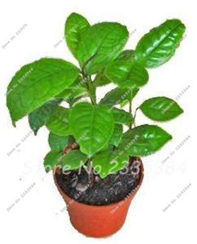 Nueva cosecha de semillas de árbol de té verde chino fresco Camellia Sinensis semillas jardín Bonsai planta de flor de té verde 10 piezas