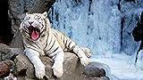 Pintura por nmeros para adultos, kit de pintura al leo para nios adultos, decoracin casera de bricolaje, educacin sobre descompresin, juguete preferido de regalo Tiger on the Stone