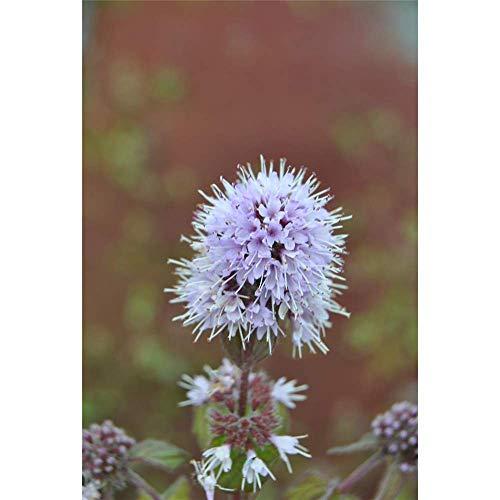 Wasser-Minze rotviolett (Mentha aquatica) A088