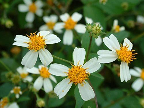 Portal Cool 300 Samen der Bidens Pilosa (Black Jack) -Herb. 100% Bio. Nicht ohne Gentechnik. uk Verkäufer