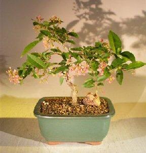Bonsai Boy's Flowering Dwarf Weeping Barbados Cherry Bonsai Tree Malpighia Pendiculata