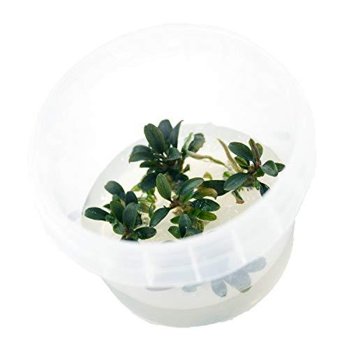 Naqua In Vitro Aquarium Pflanzen - Aquascaping - Wasserpflanzen (Bucephalandra red Mini)