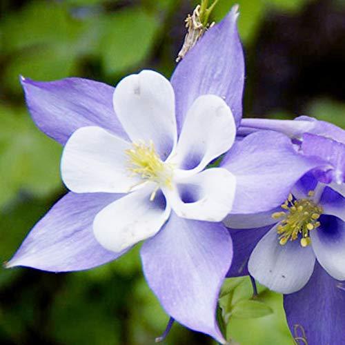 UtopiaSeeds Blue Dream Columbine Seeds - A Favorite Perennial Wildflower and...