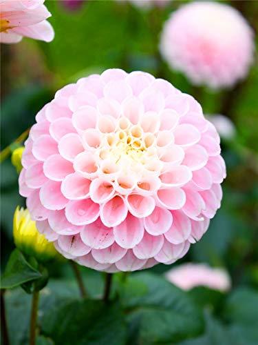 Hermosas flores cortadas, Bulbos de dalia, Decoración de balcón, Decoración hogareña, Plantas ornamentales-2 Bulbos, Rosa