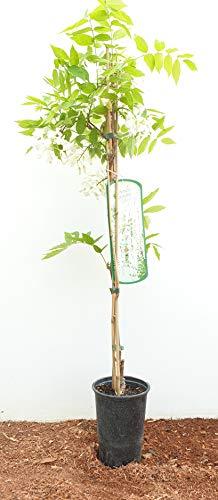 Weißer Chinesischer Blauregen Wisteria sinensis 'Alba' veredelte Kletterpflanze im Topf gewachsen (60-100cm)