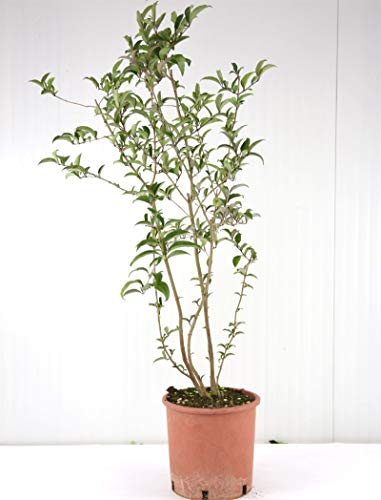 Pianta Ligustro, vaso 24 cm, Altezza 90/110cm