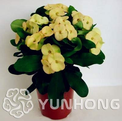 AGROBITS 100PCS Pots Euphorbia Milii Bonsai fleurs en plein air Jardin Cheap Flores Bonsai Everlasting Summer Home Bonsai: 7