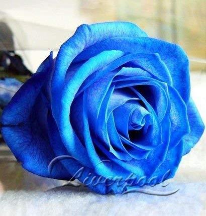 200 Graines Rose, couleur rare, réel graines, bricolage Idéal jardin Flower Look Good Year Round Jardin