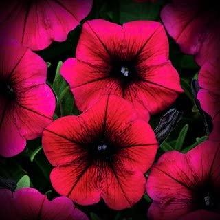 Best deep purple petunias Reviews