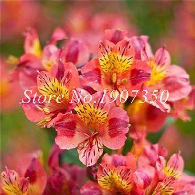 Shopmeeko Graines: Bonsai 100 Pcs Rare Bonsai Alstroemeria Beauté fleurs en pot Balcon Plantation Saisons Bonsai Color Mixed Bonsai intérieur: 19