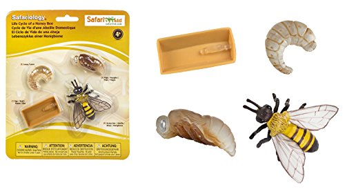 Safari 622716–Lebenszyklus Einer Honigbiene