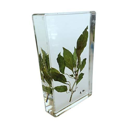 LXX Biologische Pflanze Emblem – Capsicum/Chinese Yam/Willow/Mungbohne Pflanzenproben Modell – konservierte biologische Pflanze für Briefbeschwerer, Wissenschaftsbildung Capsicum