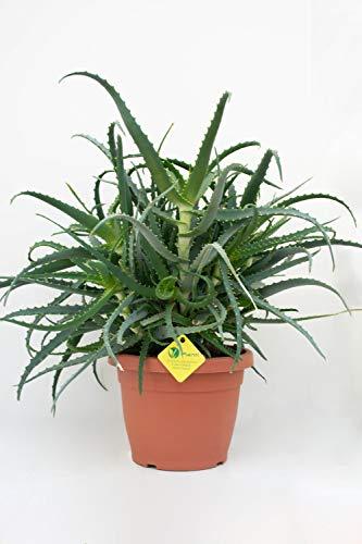 PLANTI' PIANTA VERA DI ALOE Aloe arborescens Pianta grassa da esterno, interno e serra. Piante grasse per fioriere e vaso. Piantina sempreverde dalla proprietà curativa. Vaso 22 cm