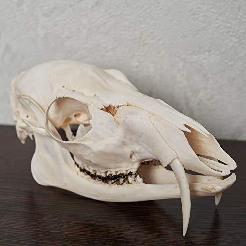 Siberian Musk Deer Taxidermy Skull - Musk-Deer Cleaned Skull, Jaws, Bones, Skeleton, Teeth for Sale - Real, Decor, LIFESIZE, Genuine - ST6682
