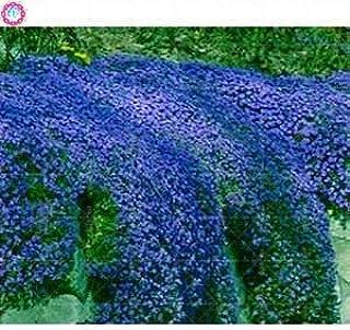 30 Pcs Thym Rampant Ou Multi-Couleur Rock Cress Vivace Fleur Couvre-sol Fleur Jardin Dcoration Graines: 3