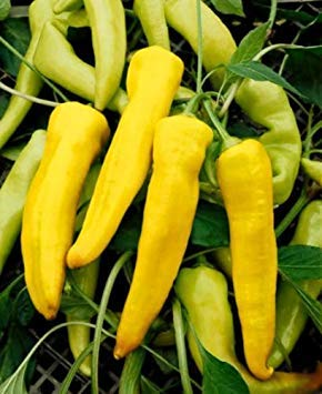 SANHOC Samen-Paket: Pfeffersamen, Paprika, gelbe Paprika Samen, Erbstück Pfeffer, 50ct