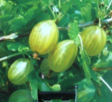 Gelbe Stachelbeere Hinnomäki Busch 3 Liter Pflanzcontainer 3-4 Triebe