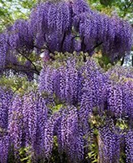 Spectacular Blue Moon Wisteria Vine Plant 2-3' Tall Potted Plant Fragrant Flowers Attracts Hummingbirds 2-3 Year Old Plants, In dormancy