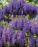 Spectacular Blue Moon Wisteria Vine Plant 1-2' Tall Potted Plant Fragrant Flowers Attracts Hummingbirds 2-3 Year Old Plants, in Dormancy